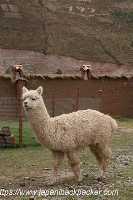 ペルーのアルパカ