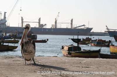 アリカ港のペリカン