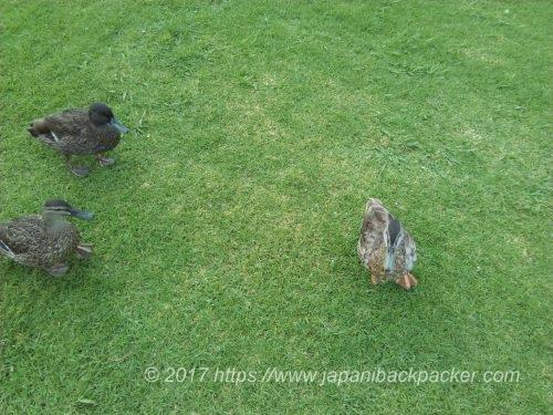 グレートバリア島の鴨