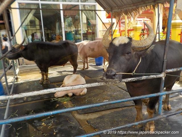 ワットバンナーノークの牛