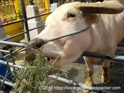 ワットバンナーノークの水牛