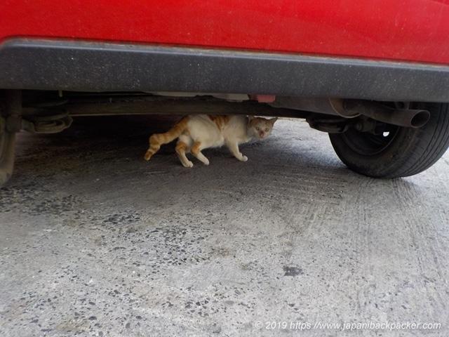 ポンペイ島コロニアの猫