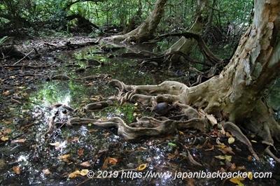 ナンマドール遺跡のマングローブ