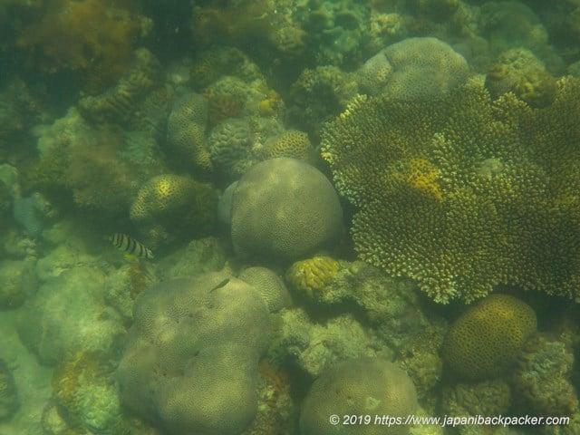 サメット島のサンゴ