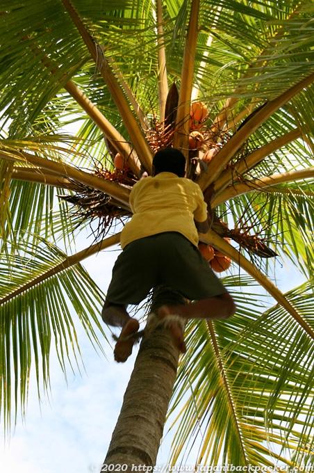 ヤシの実を採るバリ島民