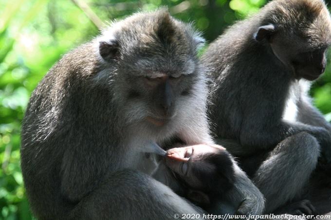 バリ島モンキーフォレストの親子猿