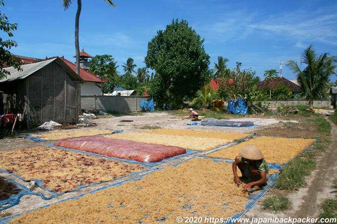 レンボンガン島の海藻栽培