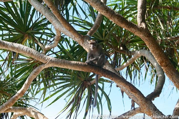 レンボンガン島の野生猿