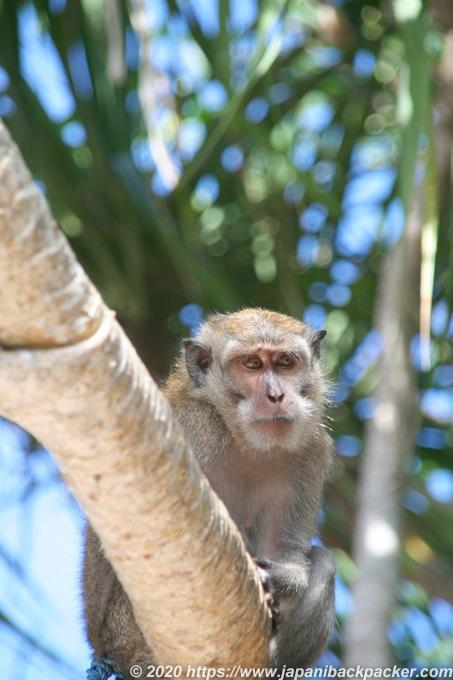 レンボンガン島の猿