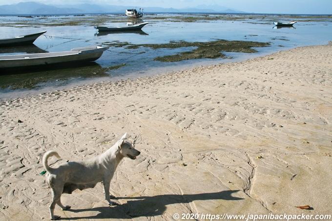 レンボンガン島の犬