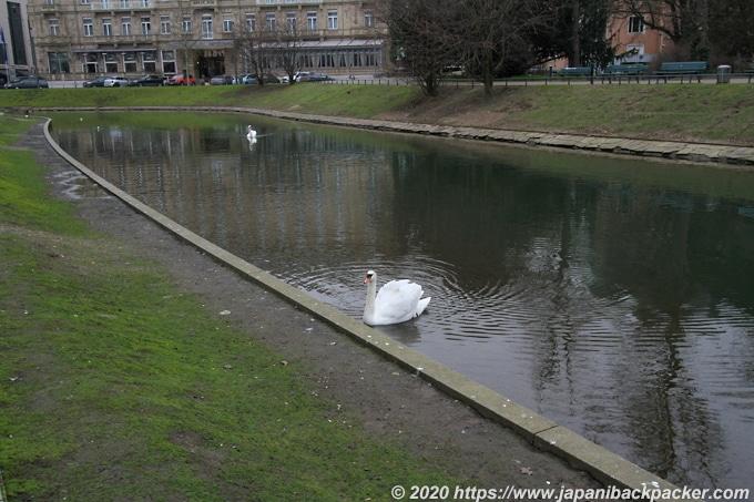 デュッセルドルフの白鳥