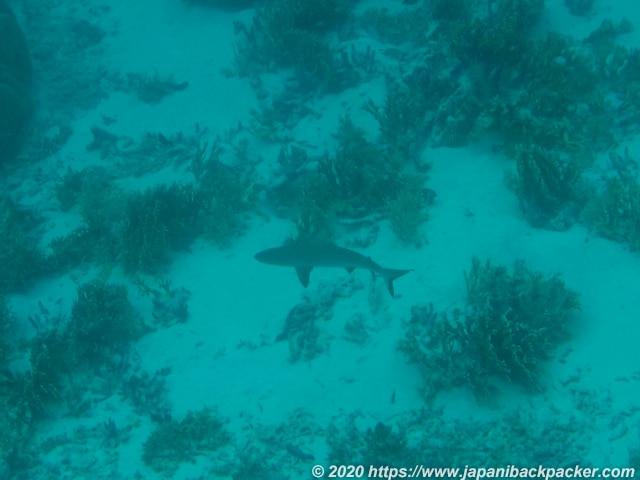 ブラックコーラル島 サメ