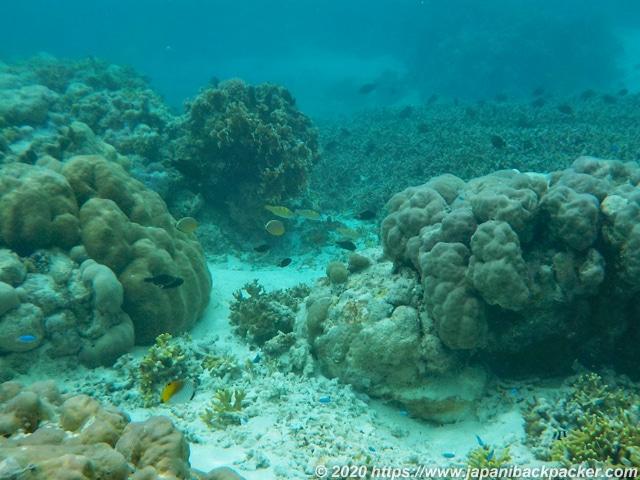 ブラックコーラル島 巨大サンゴ