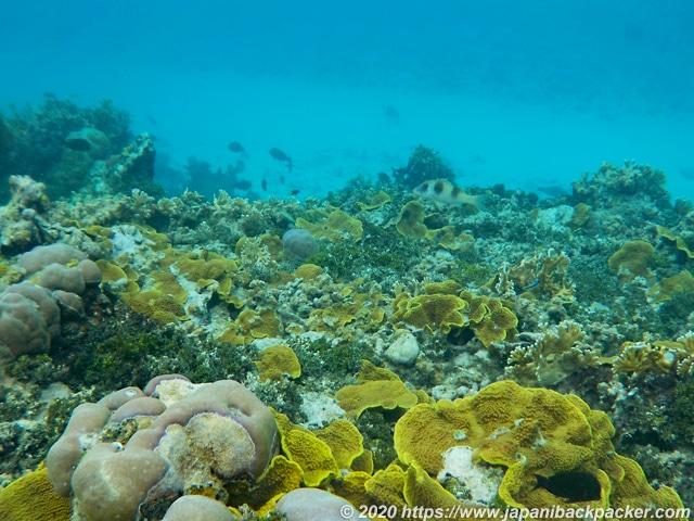 ブラックコーラル島 サンゴ