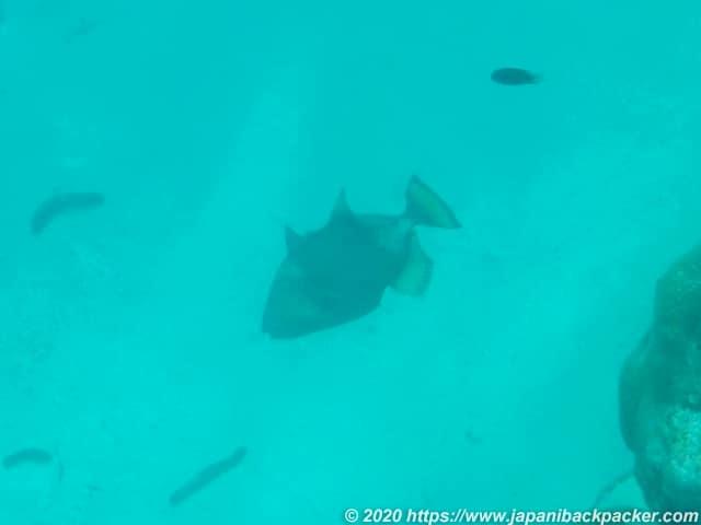 ブラックコーラル島 シュノーケリングで攻撃してきた魚