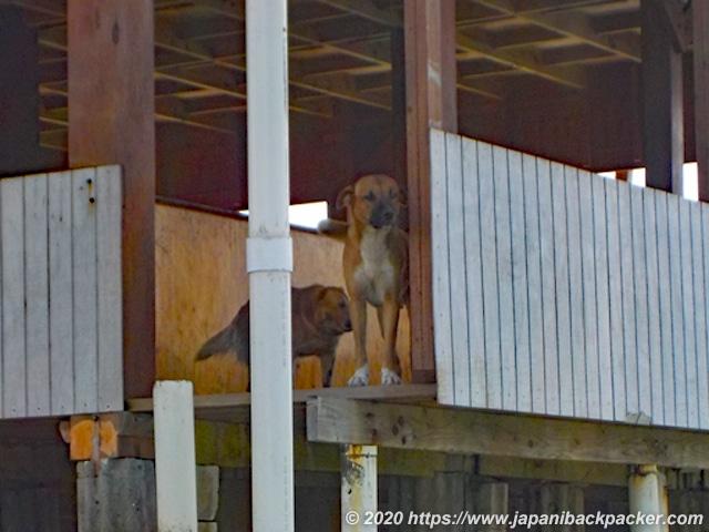 ランガル島の犬