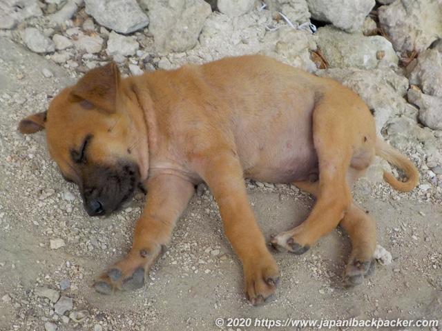 ポンペイ島の子犬