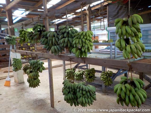 ミクロネシアのバナナ