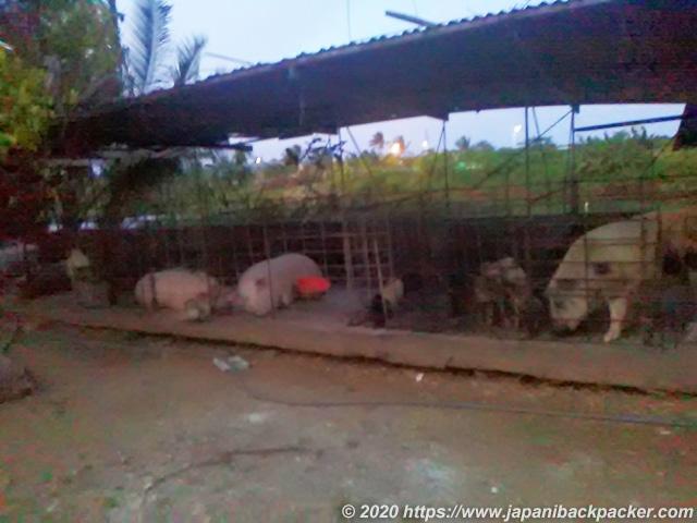 ポンペイ島 豚小屋