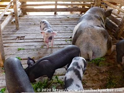 ミャンマーの豚