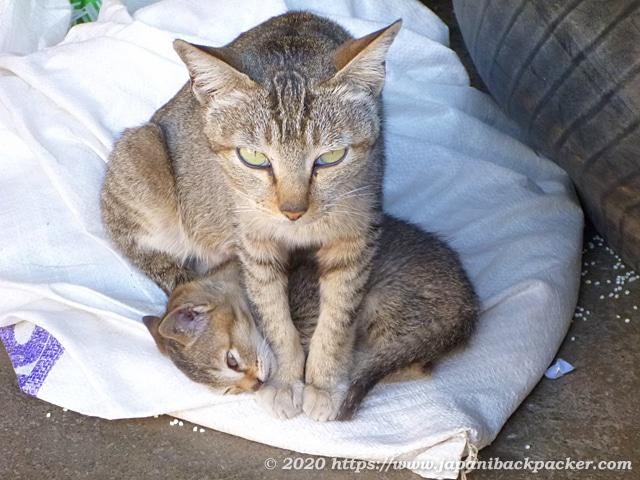 ミャンマーの親子猫