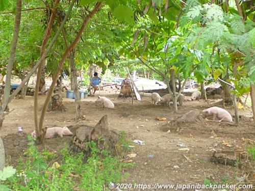 マラパスクア島の豚