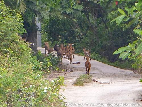 マラパスクア島の鹿