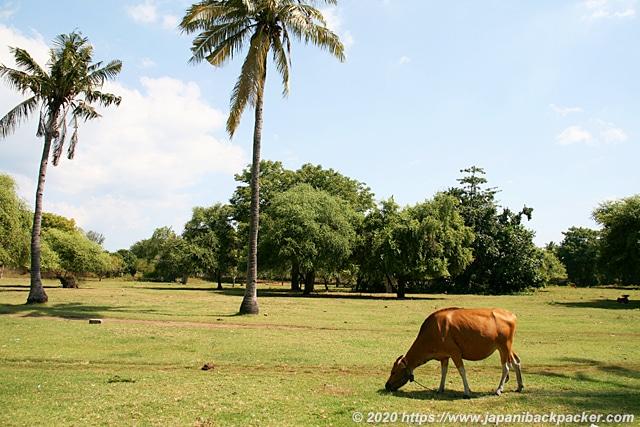 ギリアイルの牛