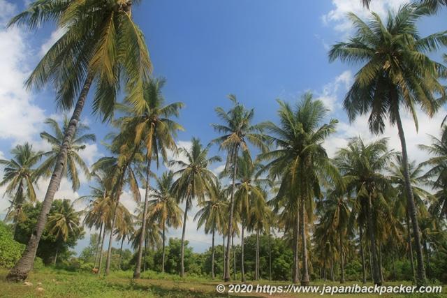 インドネシアのヤシ畑