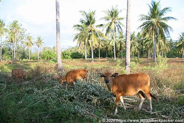 ギリメノ島の牛