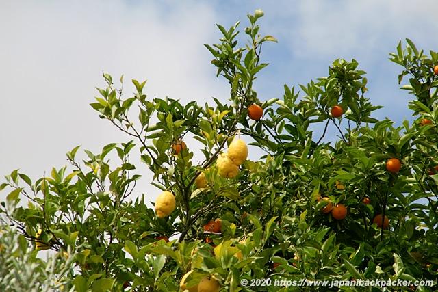 レモンとオレンジの木
