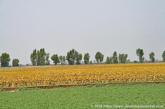 スペイン ひまわり畑
