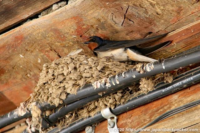 スペインの燕