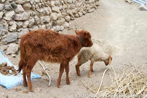 ラダック 羊